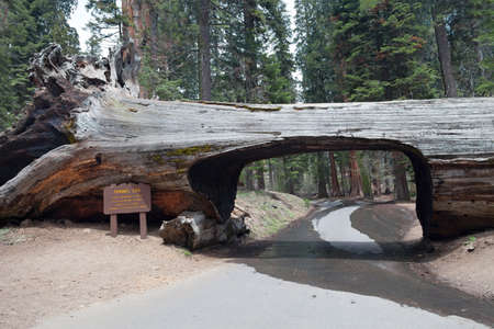 Tunnel log in the Sequoia park, California, USA  photo