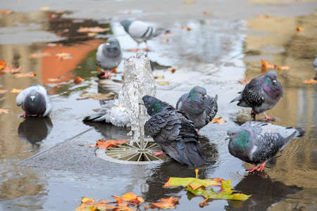 townhall: Grey doves near fountain, townhall reflection and autumn leaves Stock Photo
