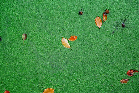 duckweed: Green duckweed covers small pond with autumn leaves