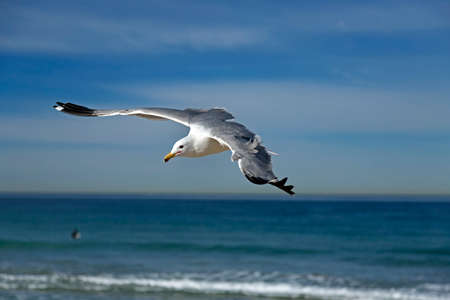 hermosa beach: Seagull flying on the hermosa beach, California, USA