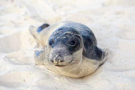hermosa beach: Seal pup having rest on the Hermosa beach, California, USA Stock Photo
