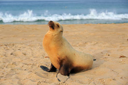 hermosa beach: Sea lion pup having rest on the Hermosa beach, California, USA Stock Photo