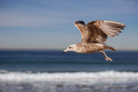 Seagull flying and crying on the hermosa beach, California, USA