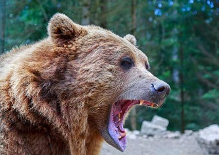 Oso pardo con el retrato de la boca abierta en las montañas de los Cárpatos, Ucrania Foto de archivo