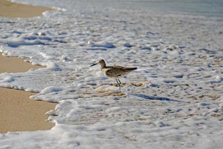 hermosa beach: A willet bird, type of sandpiper running from ocean wave on Hermosa beach, California