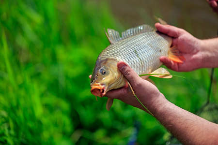 Carp fish in the hands of fisherman outdoor, closeup view photo