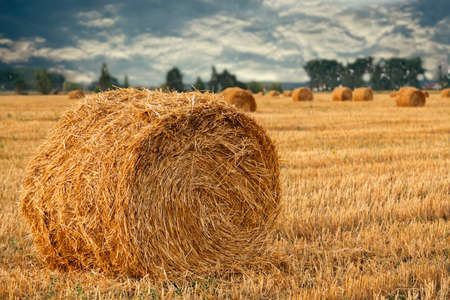 Wheat straw rolls on the field at sunset