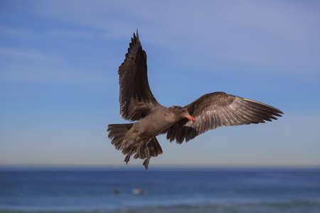 Black seagull flying on the hermosa beach, California, USA