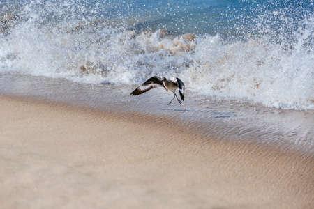 A willet bird, type of sandpiper running from ocean wave on Hermosa beach, California