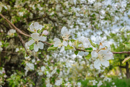 Apple tree flowers and tree in blossom Stockfoto