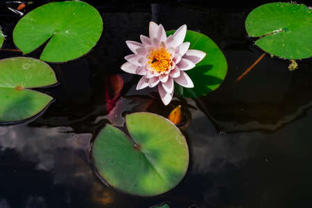 Pink nymphaea flower with sky reflection on the pond surface