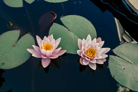Pink nymphaea flowers with sky reflection on the pond surface