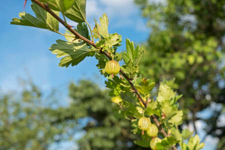 Branch with gooseberry berries and blue sky Stockfoto