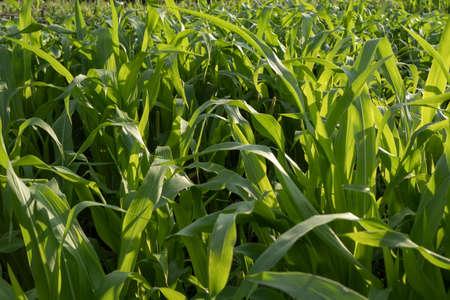 Green corn field at sunset, closeup view