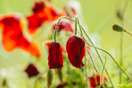 withered: Withered poppy flowers, warm toning Stock Photo