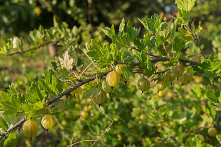 Branch with gooseberry berries in the orchard