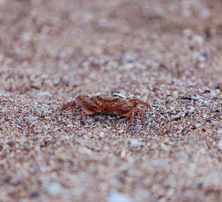 Crab on the beach, closeup view, small DOF