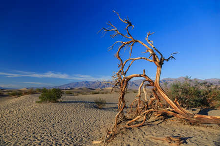 Dead tree in the dunes of Death Valley, California, USA