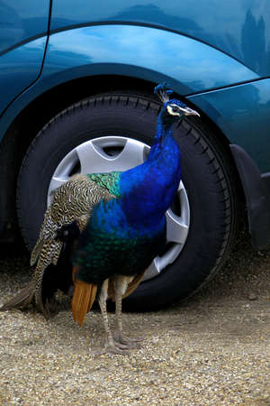 showoff: How to sell a car? Why not through a beautiful colourful peacock´s mediation! Stock Photo