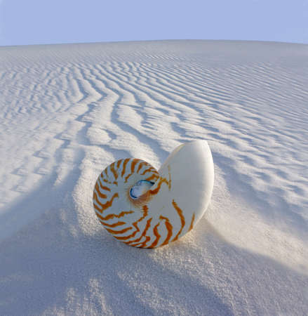 Chambered Nautilus (Nautilus pompilius) on sand dune Stock Photo - 9099579