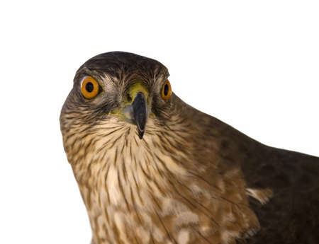 Sharp-shinned Hawk (Accipiter striatus) Stock Photo - 9262730
