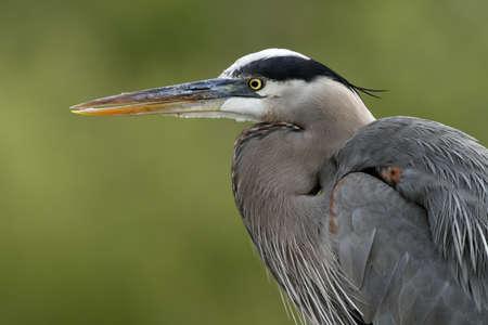 Great Blue Heron closeup Stock Photo - 9262731