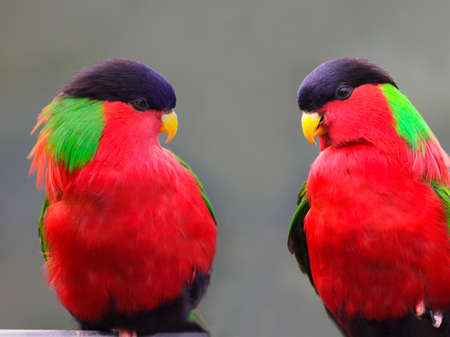Colorful Collared Lory Phigys solitarius parrot