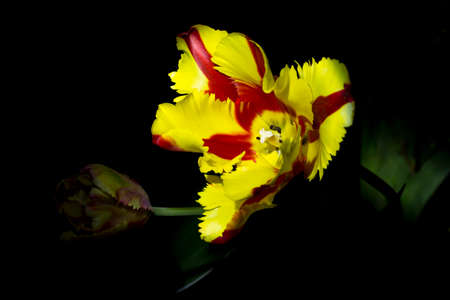 Two beautiful red and yellow tulip blossoms with black background