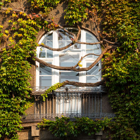 White framed window of an old residential building overgrown by ivy vines with lush green leaves.