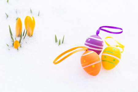 Closeup of purple, orange and yellow easter eggs with ribbons and decorated with stripes and dots laying besides fresh crocus blossoms outdoors on snow in spring