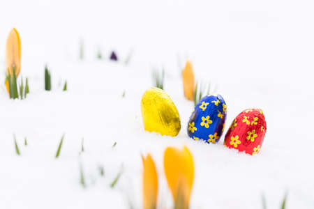 Closeup of three chocolate easter eggs wrapped in golden, blue and red aluminum foil laying on fresh snow besides young yellow crocus buds outdoors in spring