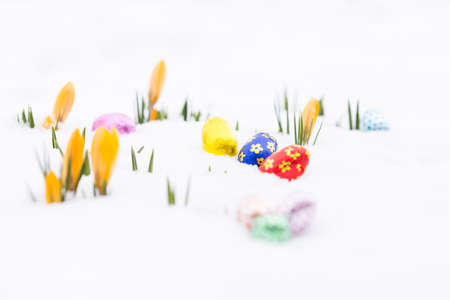 Closeup of chocolate easter eggs wrapped in pink, orange, green, golden, blue and red aluminum foil laying on fresh snow besides young yellow crocus buds outdoors in spring Stock Photo