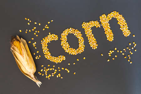 Concept of the word corn in english language formed with dry corn seeds on black background and decorated with golden corn cobs and dry corn seeds Stock Photo