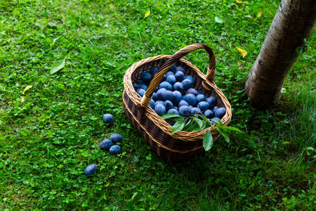 Freshly harvested delicious and juicy plums in a brown basket resting on the grass besides a plum tree in an orchard Stock Photo