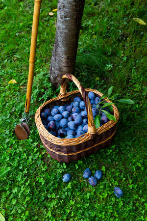 Freshly harvested delicious and juicy plums in a brown basket resting on the grass besides a plum tree and a wooden harvesting stick in an orchard Stock Photo