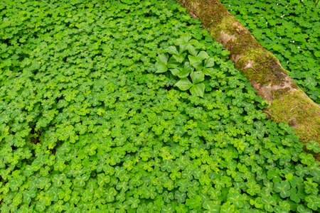 Close-up of a forest ground entirely covered with a multitude of lush green clover Banco de Imagens