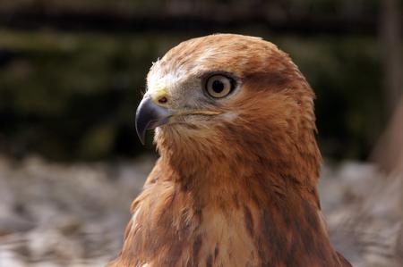Merlin (Falco columbarius) portrait. Carnivore bird in nature