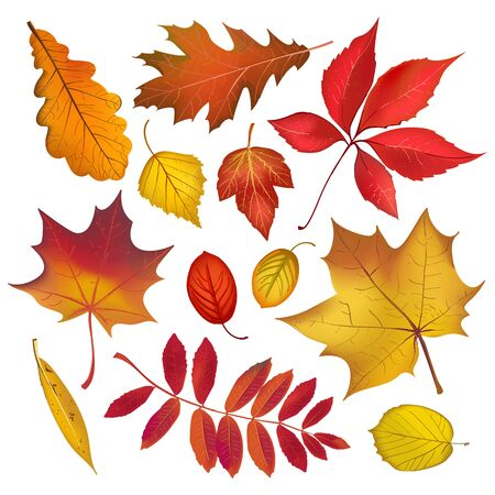 Autumn colored leaves isolated on white background collection. Vector fall objects illustration Illustration