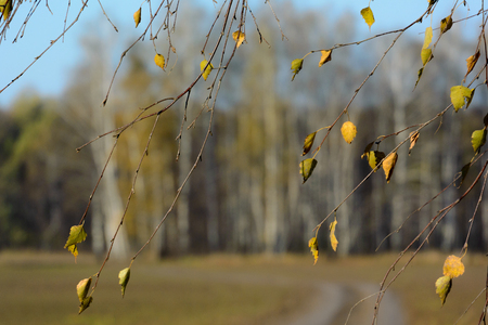 Birch brunches with old autumn leaves on mud blurry forest background. Autunm landscape Stock Photo