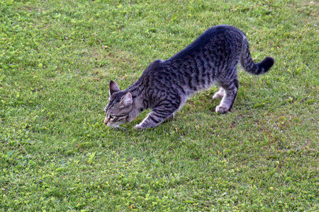 Young gray domestic tabby cat walking on green grass law in summer