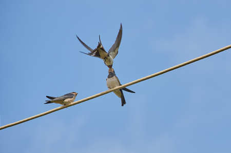Barn swallow is feeding its nestlings sitting on the wire against the blue sky. Natural background