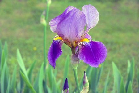 Bearded purple iris flower in full bloom in the garden for your design. Floral nature background 免版税图像
