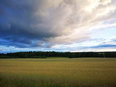 Wheat field spring landscape with dark forest in horizon and dramatic clouds in light blue sky. Nature summer background