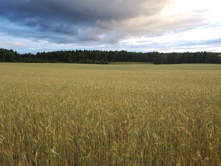 Wheat field spring landscape with dark forest in horizon and clouds in light blue sky. Nature harvest background Stockfoto
