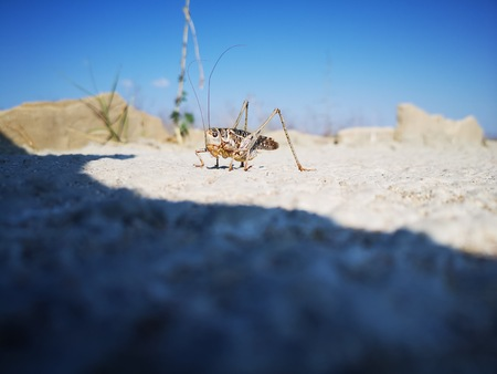 Desert locust (Schistocerca gregaria) sitting on grey rock surface in sunny day. Abstract insect nature background