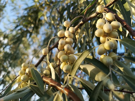 Small growing olives in wildlife. Green wild desert berries in a tree. Abstract nature brunch with berries background Stockfoto