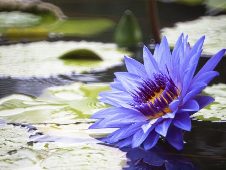 Blue-yellow lotus bloom like oil paint in pond    photo