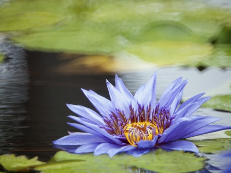 Blue-yellow lotus bloom like oil paint in pond