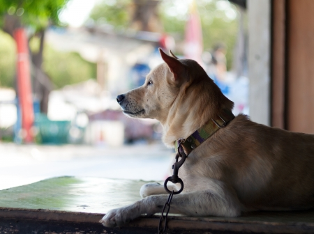 Dog in thailand