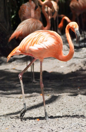 Flamingo in zoo at safali world thailand photo